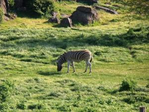 Zebras are pretty.