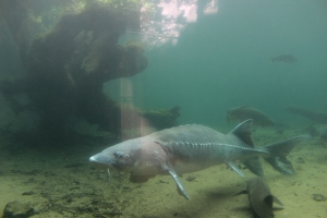 A very large Sturgeon at the Bonneville fish hatchery.