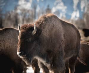 Bison spotting