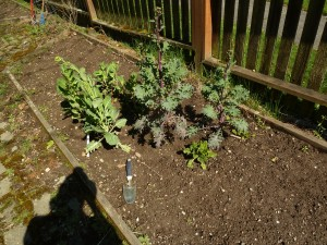 First cleared bed.  Note collards and mesclun mix growing in the middle from last season.