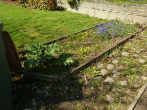 Bed remaining to be cleared.  Want to move all those purple flowers.  The rhubarb plant can remain.