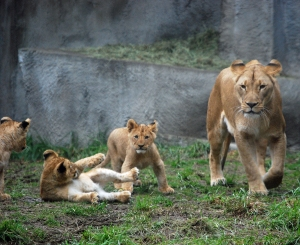 The lion family, with the mom and pop and three cubs were our favorite to watch!