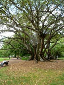 Cool tree in Auckland Domain