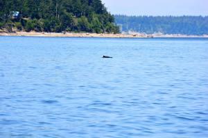 Porpoises all around!