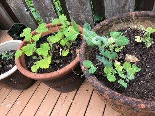 Peas and zucchini